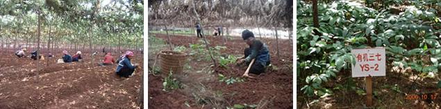 有用微生物によって発酵させた資材と灰を土に混合してから耕し種を蒔いている様子