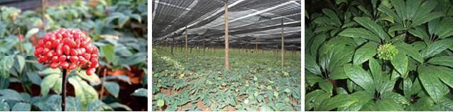 有用微生物資材とストチュウなどの葉面散布・土中灌水を行う様子