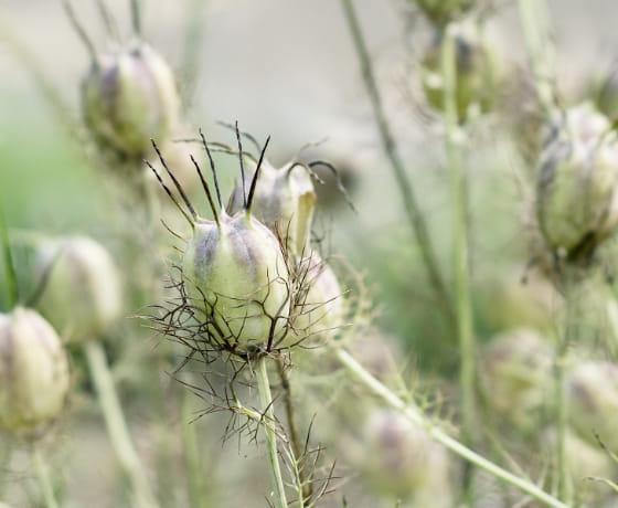 ブラッククミン種子油の写真