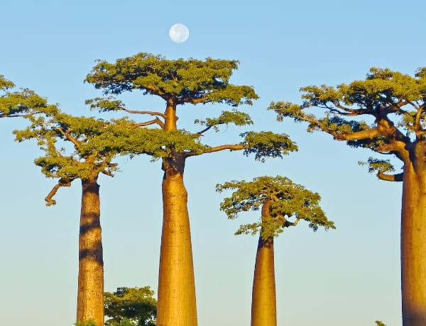 バオバブ種子油の写真